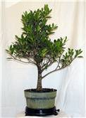 "Ficus microcarpa ""Kingman"""